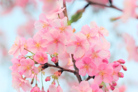 Sakura(cherry tree)