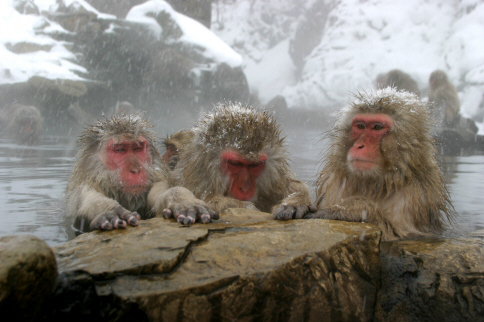 snow monkeys official Snow monkey