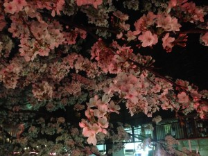 s 写真 2014 03 31 18 47 09 300x225 Full bloom(Sakura)