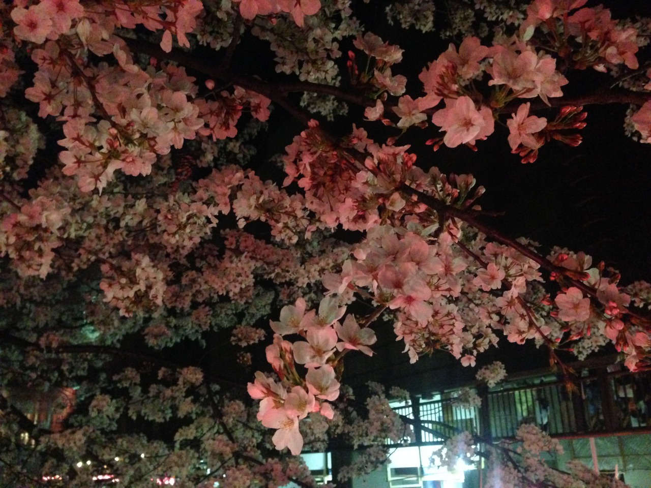 Full bloom(Sakura)