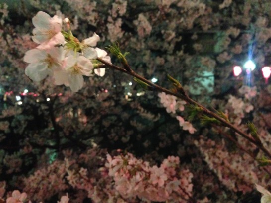 s 写真 2014 03 31 18 47 50 546x409 Full bloom(Sakura)
