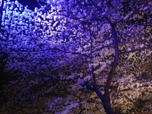 s 写真 2014 03 31 18 55 27 300x225 Full bloom(Sakura)