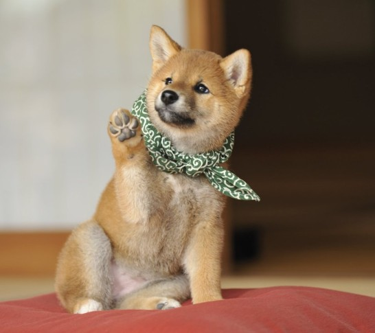 71c4X1gcUwL. SX960 CR0250960854  546x485 Japanese Shiba Inu best photo 20